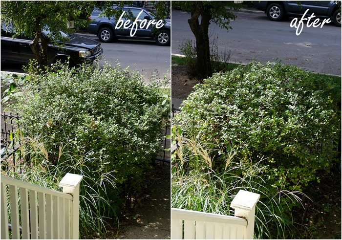tree-pruning-hedge-trimming-before-after-lilac bush