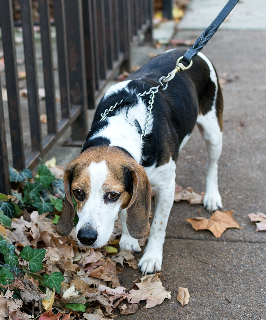 Beagle Tri-Colored from Shelter